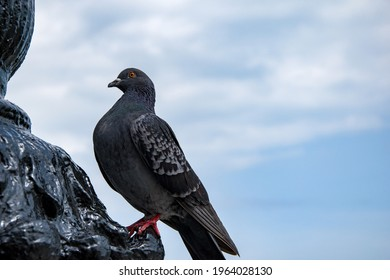 Wild dove of gray color close-up. A large gray wild pigeon sits on a monument against the blue sky. An ordinary pigeon sits proudly, captured from the side.