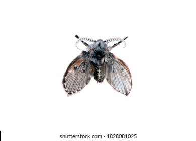 Wild drain fly. Clogmia albipunctata. Shaggy fly, butterfly on a white background, isolate, close-up. Soft focus