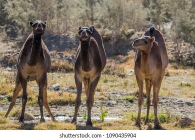 Wild Dromedary Camel