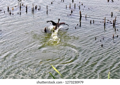 wild duck bird fleeing on water surface