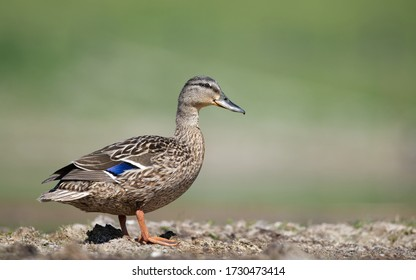Wild duck female bird posing in front of natural green background