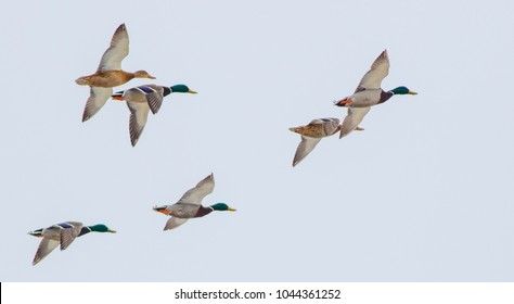 A wild duck is flying over the winter ice lake.