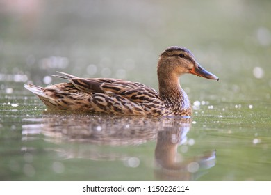 Wild duck in the lake