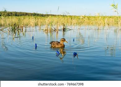 a wild duck in the lake swims near empty cartridge shells from 12-gauge cartridges