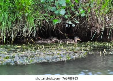 wild duck (mallard) at Danube Delta reservation