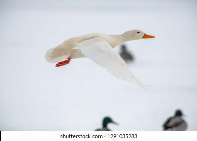 Wild duck mallard white rare mutant winter genetic mutation color fly