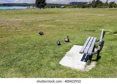 wild duck near chair at lakeside in New Zealand