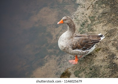 Wild duck near the water