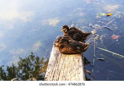 wild duck on a pond