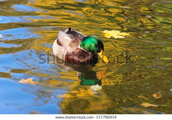 Wild duck on a pond/Wild duck/Wild duck