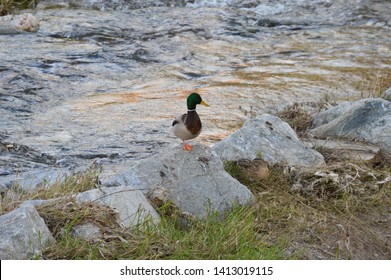 Wild duck on rock in the river