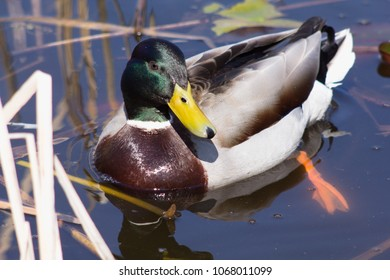 Wild duck on spring background, duck in the wild.