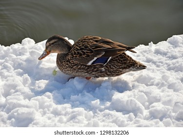 Wild duck in the snow next to the lake
