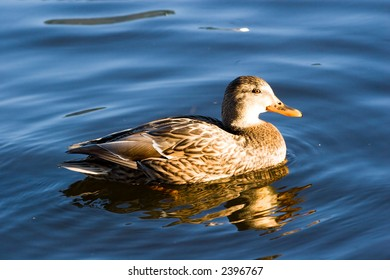 Wild duck swimming by lake. Sunset light. Vivid colors.