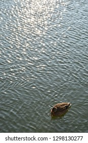 Wild duck swimming on the lake