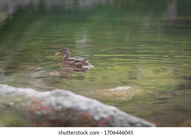 Wild duck swimming on the lake in the mountains, brown and grey bird on the water