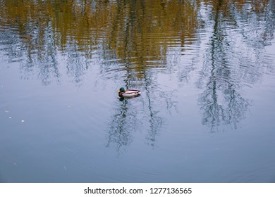 wild duck swimming on the water, bird on the lake, waterfowl