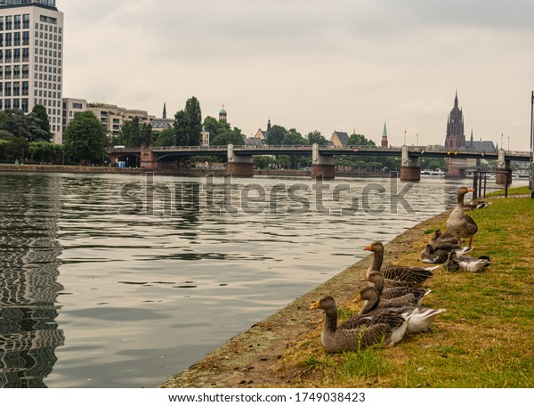 Wild ducks above the river in the city center. Mos on the river. A city in Germany. Cloudy sky.