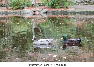 Wild ducks glide along the surface of a small duck pond, located in a natural park.