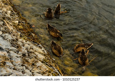 Wild ducks looking for food in water