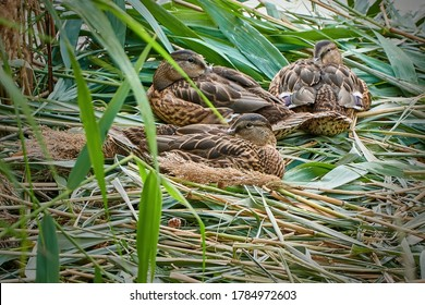 Wild ducks in nest, small mallards family.
