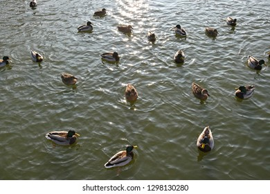 Wild ducks on the lake