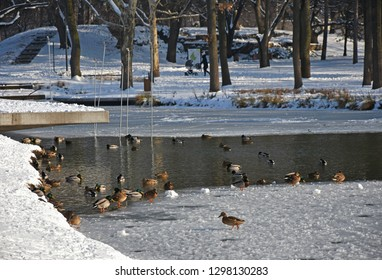 Wild ducks on the lake in the winter woods