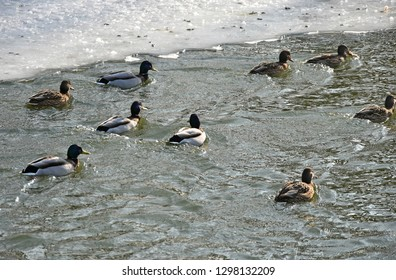 Wild ducks on the lake in winter