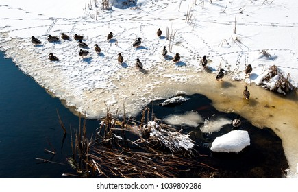Wild ducks on snow in winter on river ice. City view - house and wild ducks