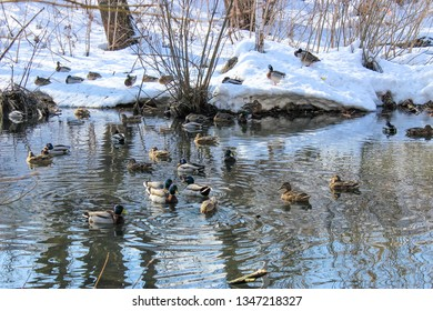 Wild ducks in a spring pond.