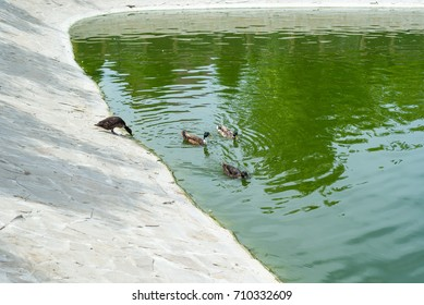 Wild ducks swim in a pond in a summer park. Ornithology. Life of wild birds.