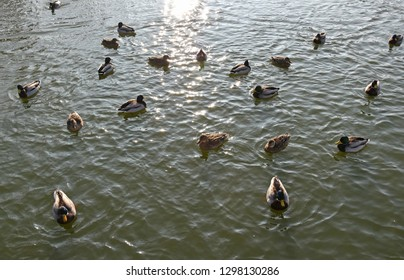 Wild ducks swimming on the lake
