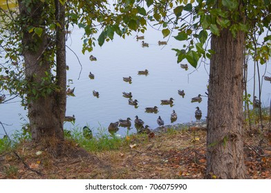 Wild ducks swimming on a pond on a summer day framed by trees.