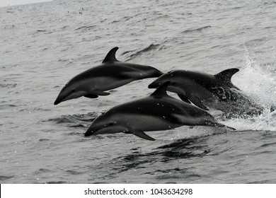 Wild dusky dolphins jumping in the waves off Peru