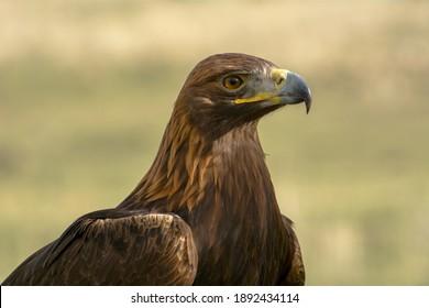 Wild eagle, bird of prey, portrait.
