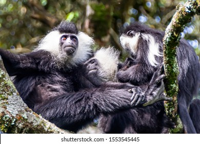 Wild Eastern Black-and-white Colobus among leaves. Close up portrait, blurred background. Black and white fur. Soft focuse.Rwanda. Nyungwe National park, Africa