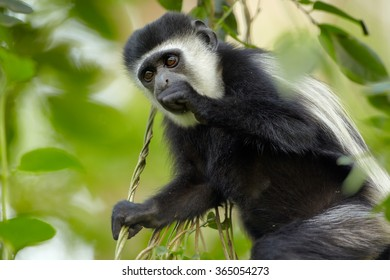 Wild Eastern Black-and-white Colobus Colobus guereza occidentalis, feeding with fruits among leaves. Close up portrait, blurred background.  Black and white fur,soft light.