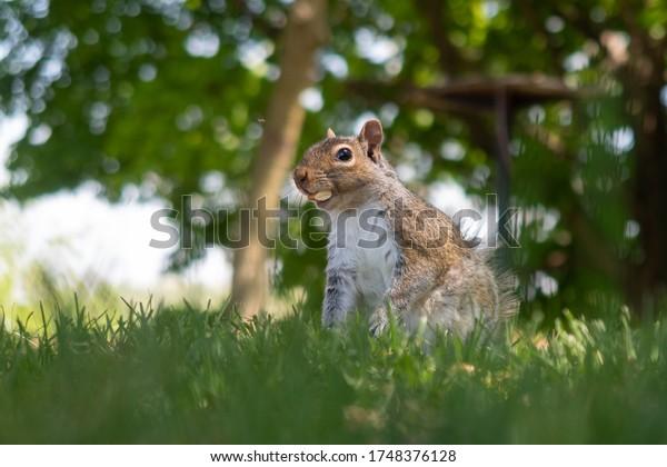 Ein wildes, graues Eichhörnchen aus dem Osten, das in einem Park Mandeln isst, Montreal, Kanada