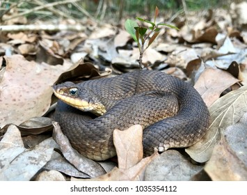 Wild eastern hognose snake