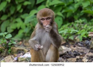 Wild eating rhesus macaque monkey living in Swayambhunath area, Kathmandu, Nepal