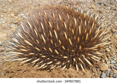 wild echidna in balled up and dug into the ground tasmania swansea area