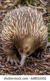 Wild Echidna, Daylesford, Victoria, Australia, March 2017
