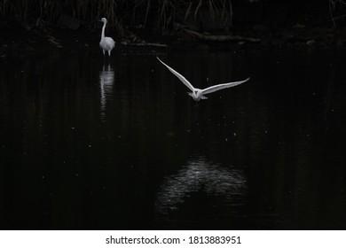wild egret is in flight