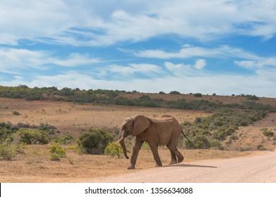 Wild elepant bull on roadside. Wild animal in natural habitat, safari drive adventure