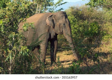 Wild elephant among the trees in the Sri Lanka