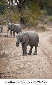 Wild elephant in the bush in Africa, Zambia