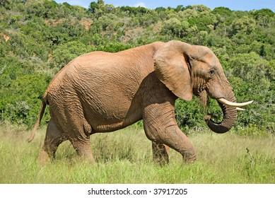 Wild elephant eating grass