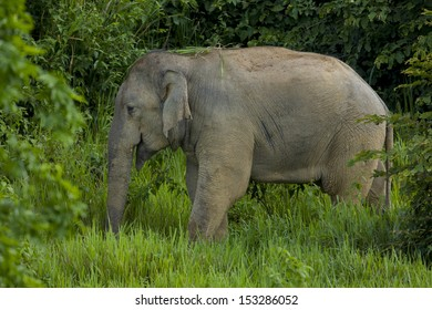 Wild elephant in the green field, thailand