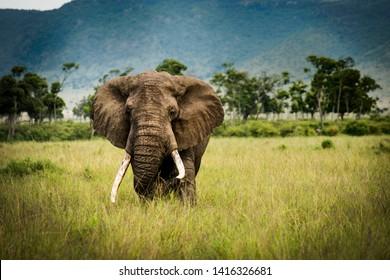 Wild Elephant in masai mara