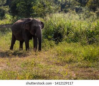 Wild elephant in Minneriya National Park, Sigiriya, Sri Lanka. Minneriya safari.